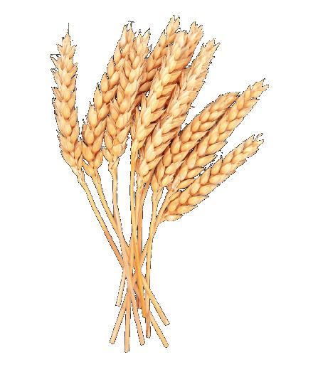 Durum Buğdayı 2. Derece