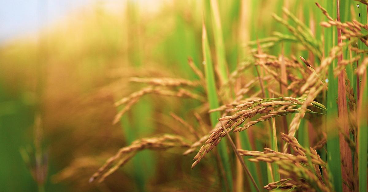 Çeltik Yetiştiriciliği Nasıl Yapılır?