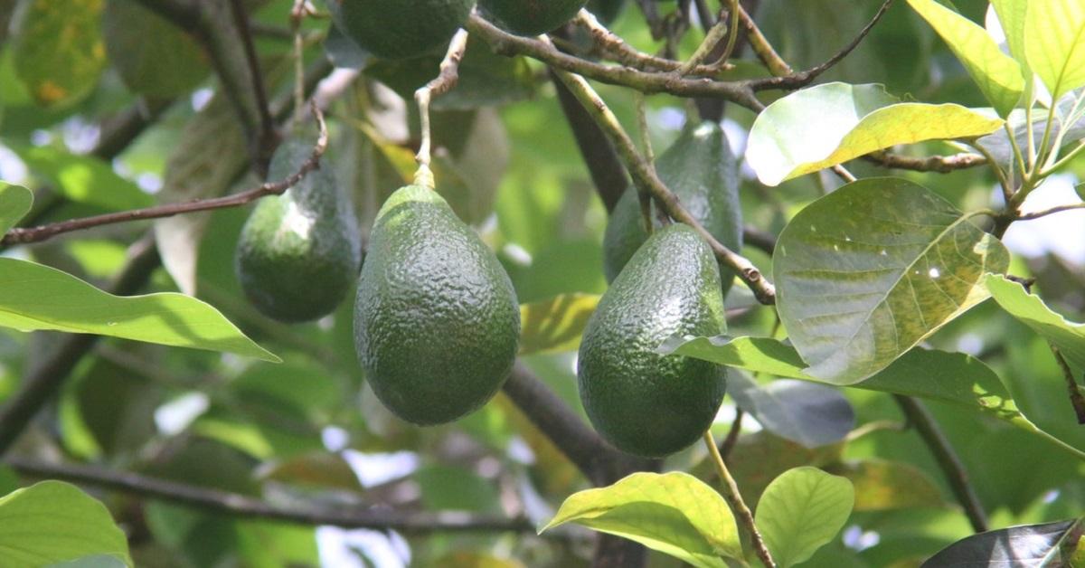 Avokado Yetiştiriciliği Nasıl Yapılır?
